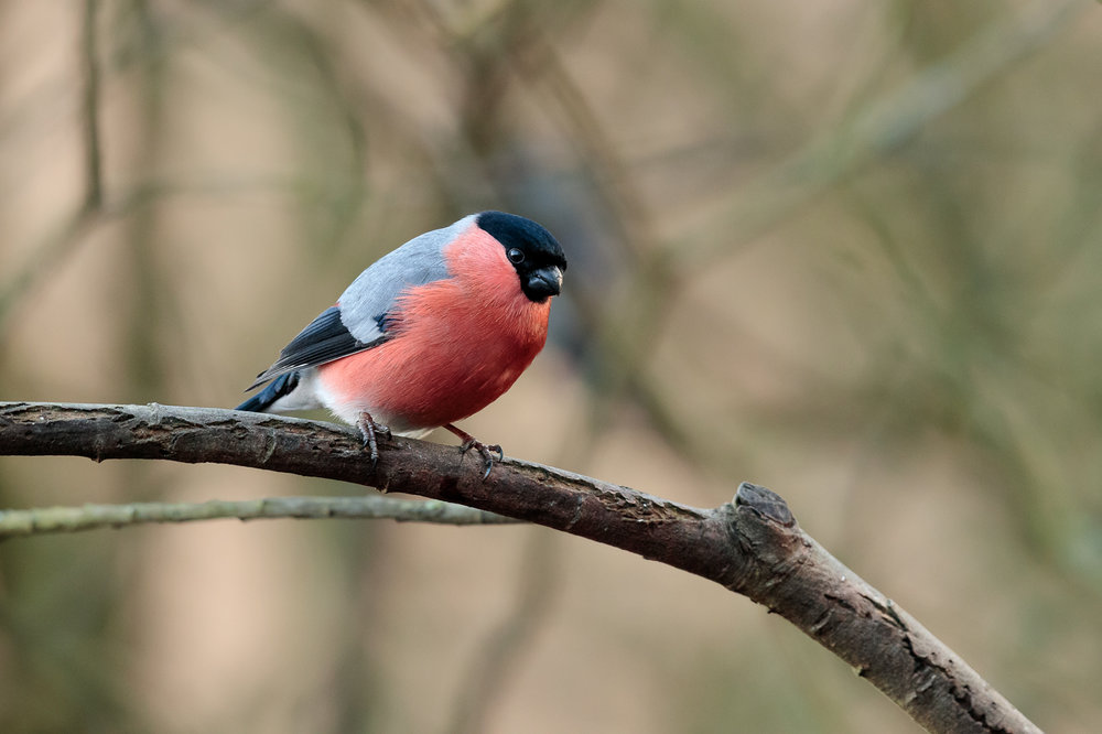 A male bullfinch perching on a tree branch in a woodland environment