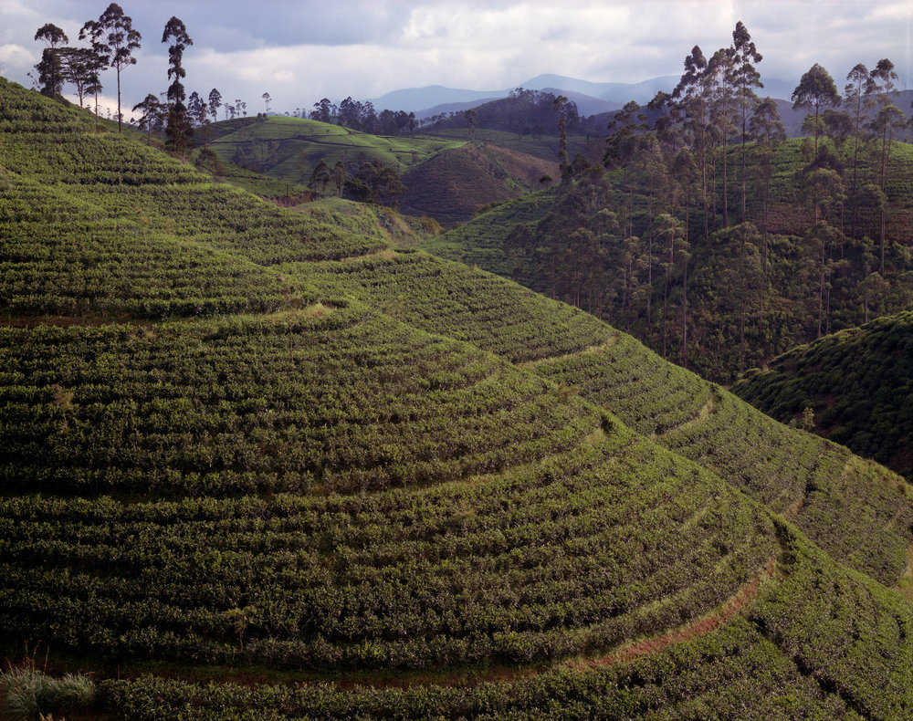 Tea plantation first planted by the British, now locally owned, Hatton Road, Sri Lanka, 1993