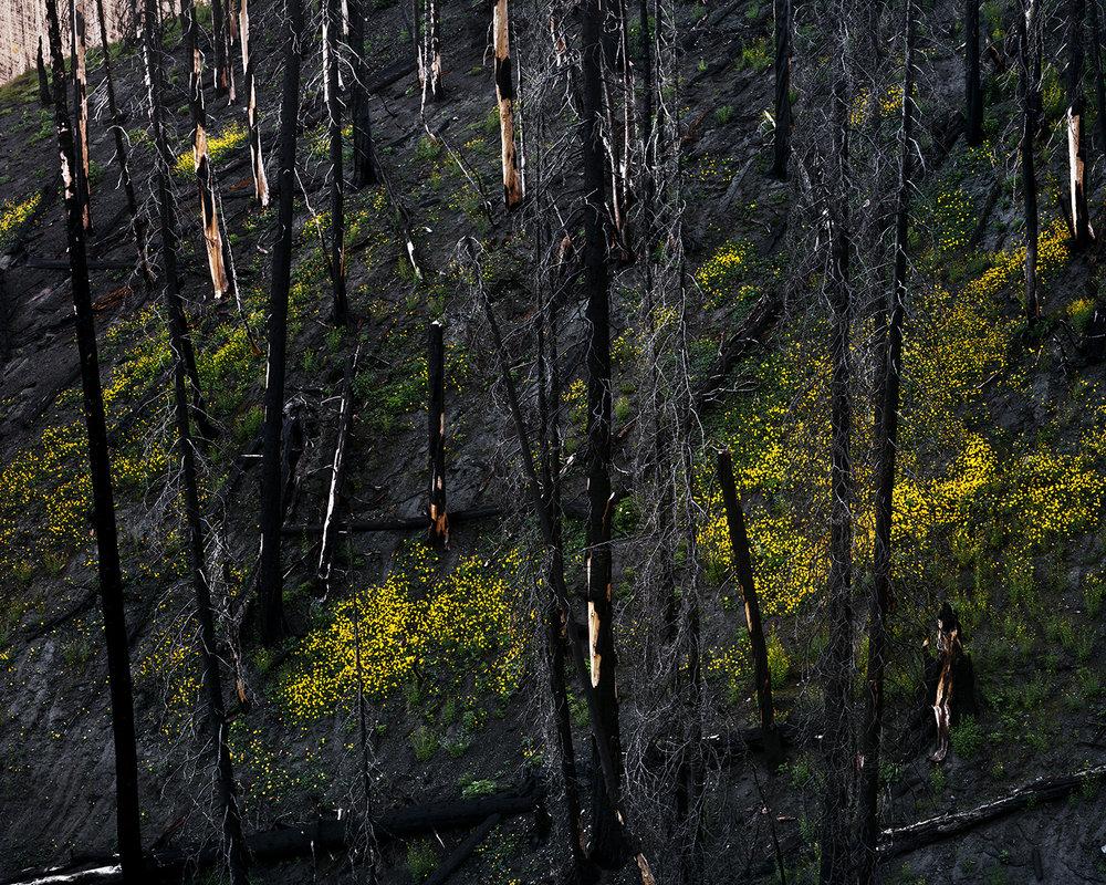 Arrowleaf+Balsamroot,+Near+Warm+Springs+Summit,+Blaine+County,+Idaho,+2015.jpg