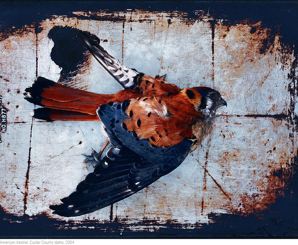 American+Kestrel,+Custer+County+Idaho,+2004_printtitledsamesize.jpg