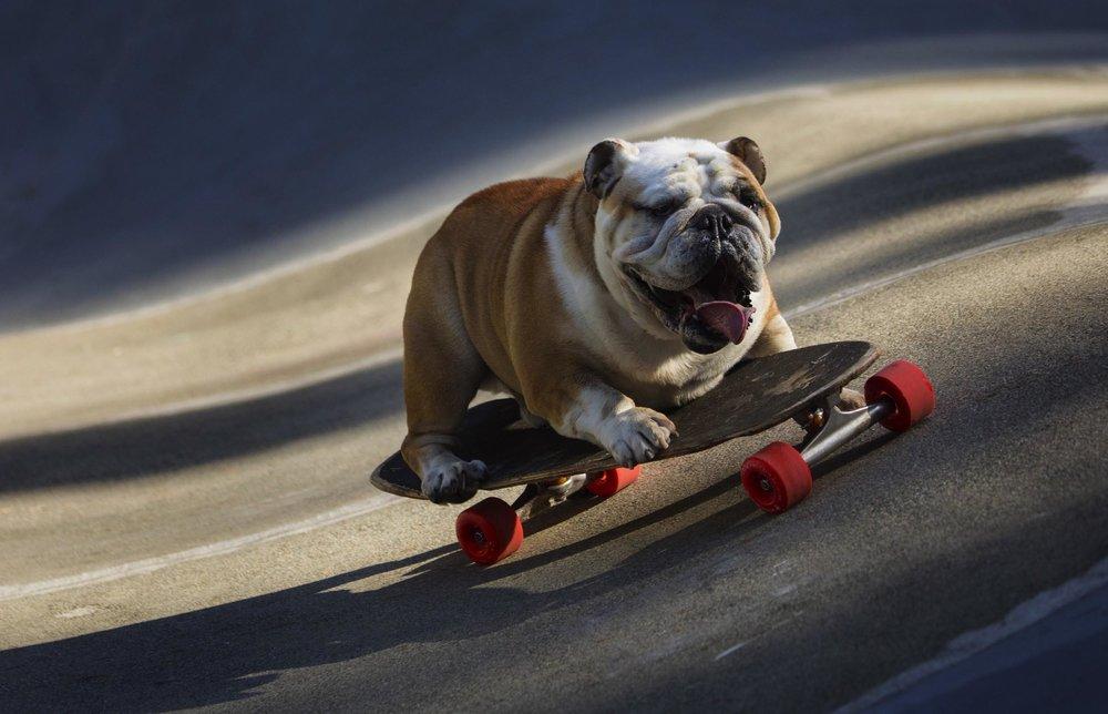 Skateboarding Dog - Digital Photograph, 2008, © Ellen Banner