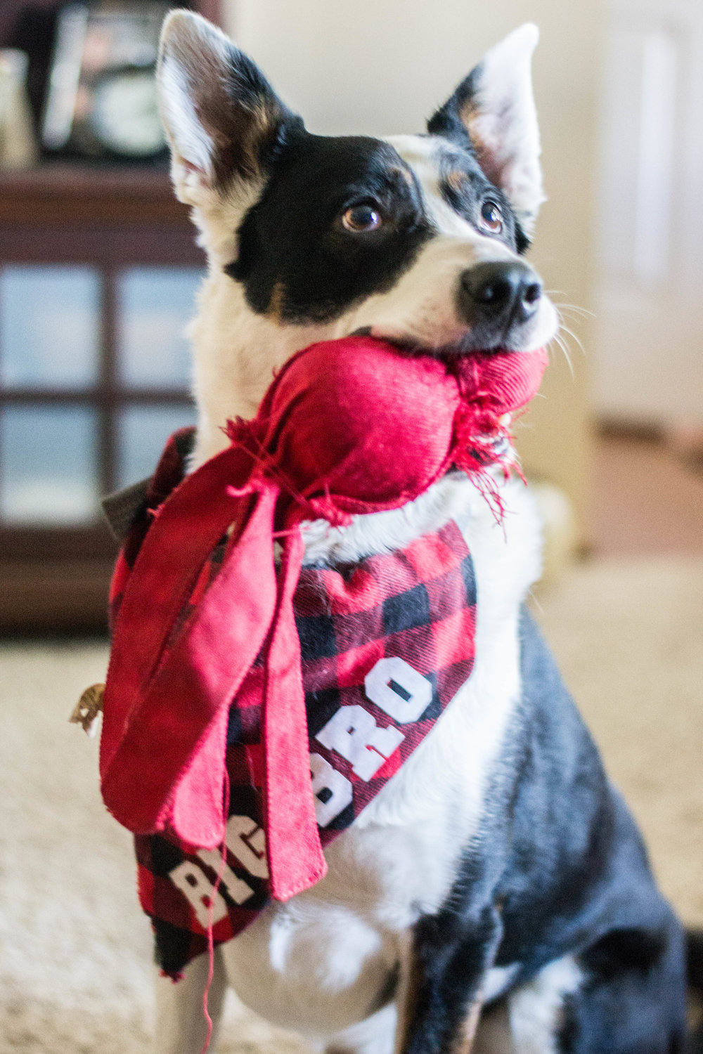 Telling my parents we're pregnant with our dog wearing a Big Bro bandana I made || Hayley Fiser || thehayleyfiser.com