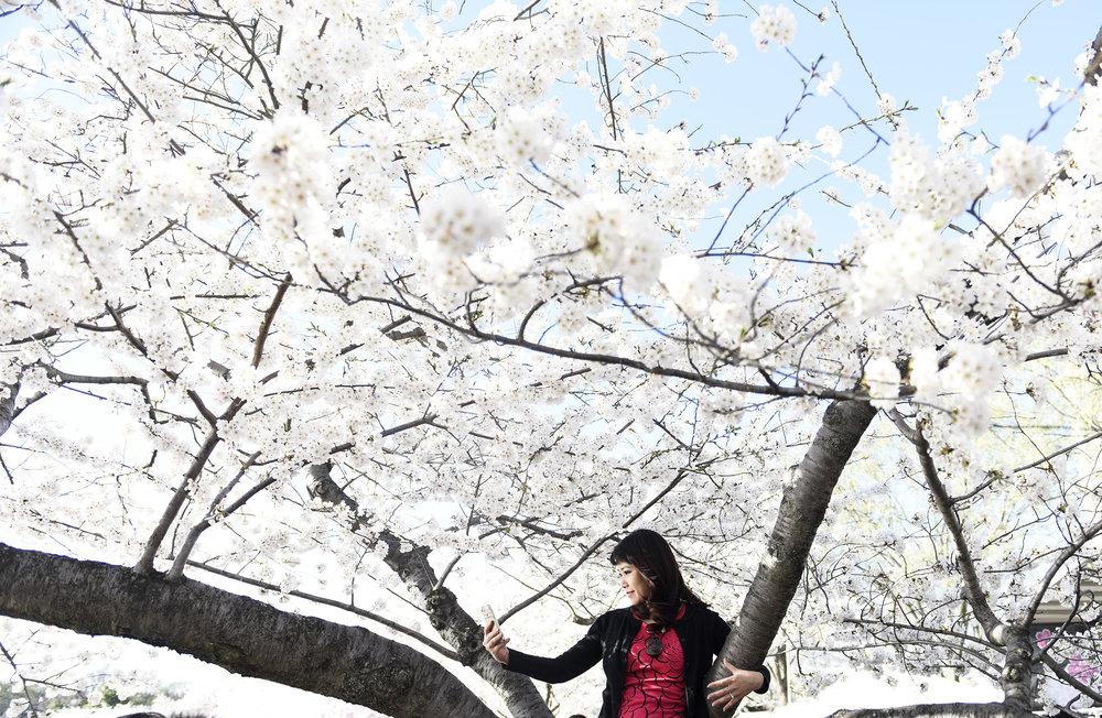 "Washington D.C. ""Cherry Blossom Festival"""
