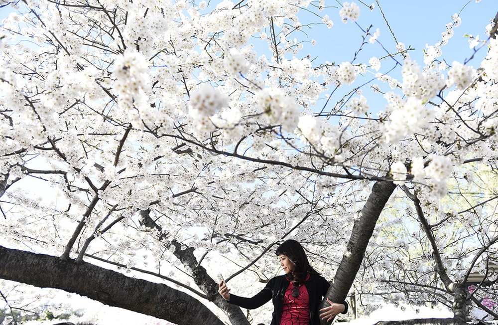 A woman takes a self portrait in a blooming cherry blossom tree April 11, 2015 during the annual Cherry Blossom Festival in Washington, DC.