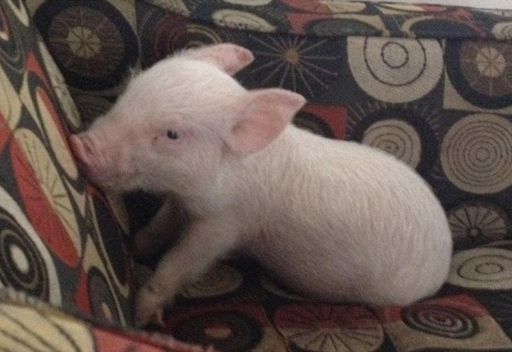 Esther as a piglet.jpg