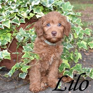 Lilo - SOLD
