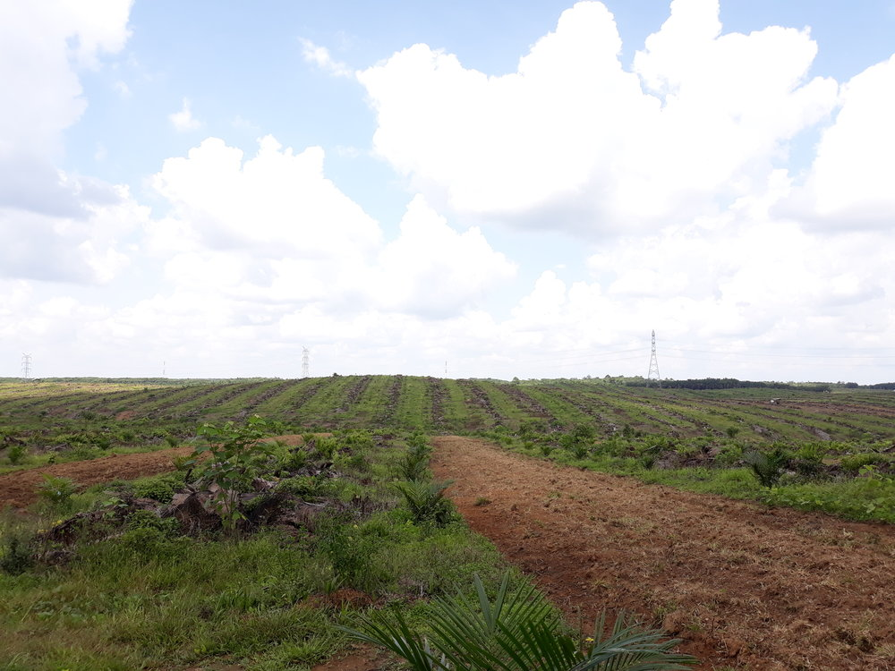 Inter-row cultivation within a recently planted palm plantation for forage crops to be planted.