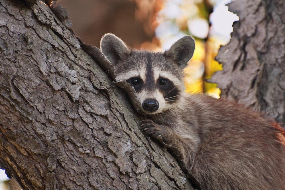Bashful Raccoon -