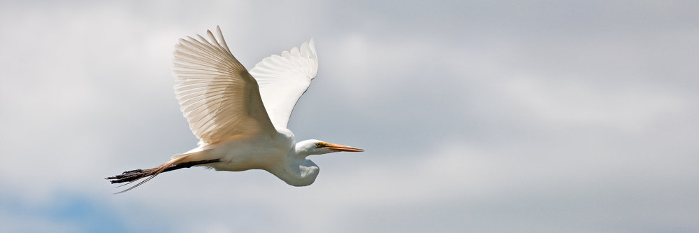 Great Egret On The Wing -