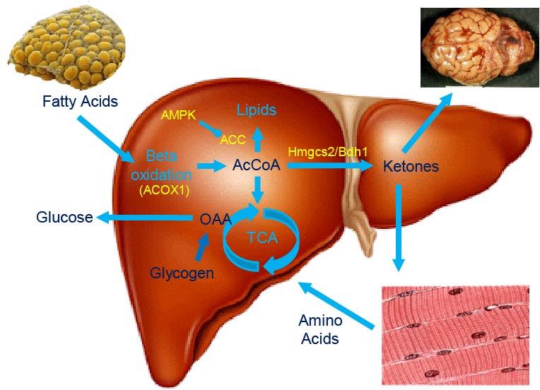 Liver ketone metabolism.jpg