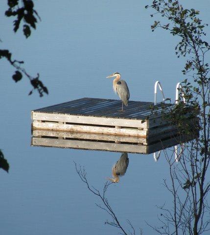 bird on dock barb bader.jpg