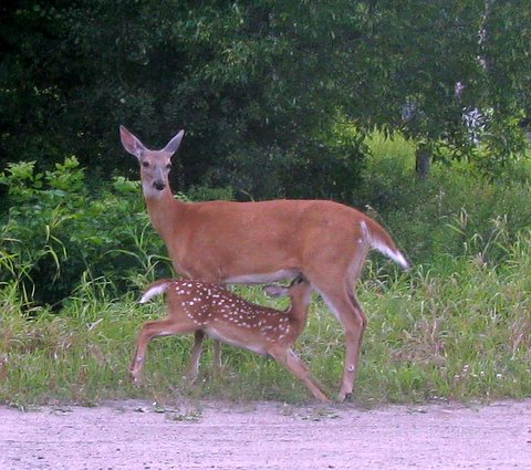 deer and fawn barb bader.jpg