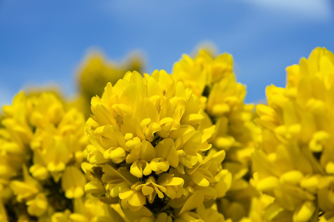 Gorse, known for restoring faith and helping you to see new possibilities