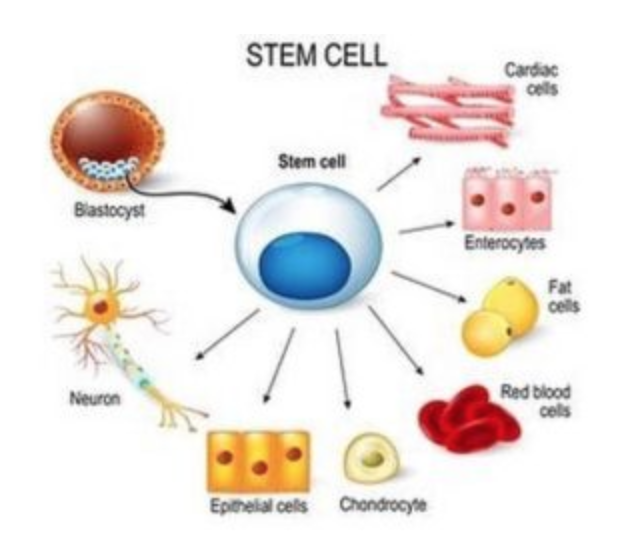 abawi-fit-what-are-stem-cells-defined.png