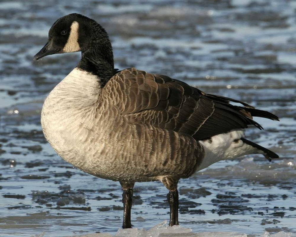 Canada Goose - Branta canadensisStatus: Very CommonWhen to see: Fall, Winter, Spring