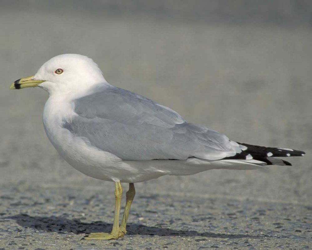 Ring-billed Gull - Larus delawarensisStatus: CommonWhen to see: Fall, Winter, Spring