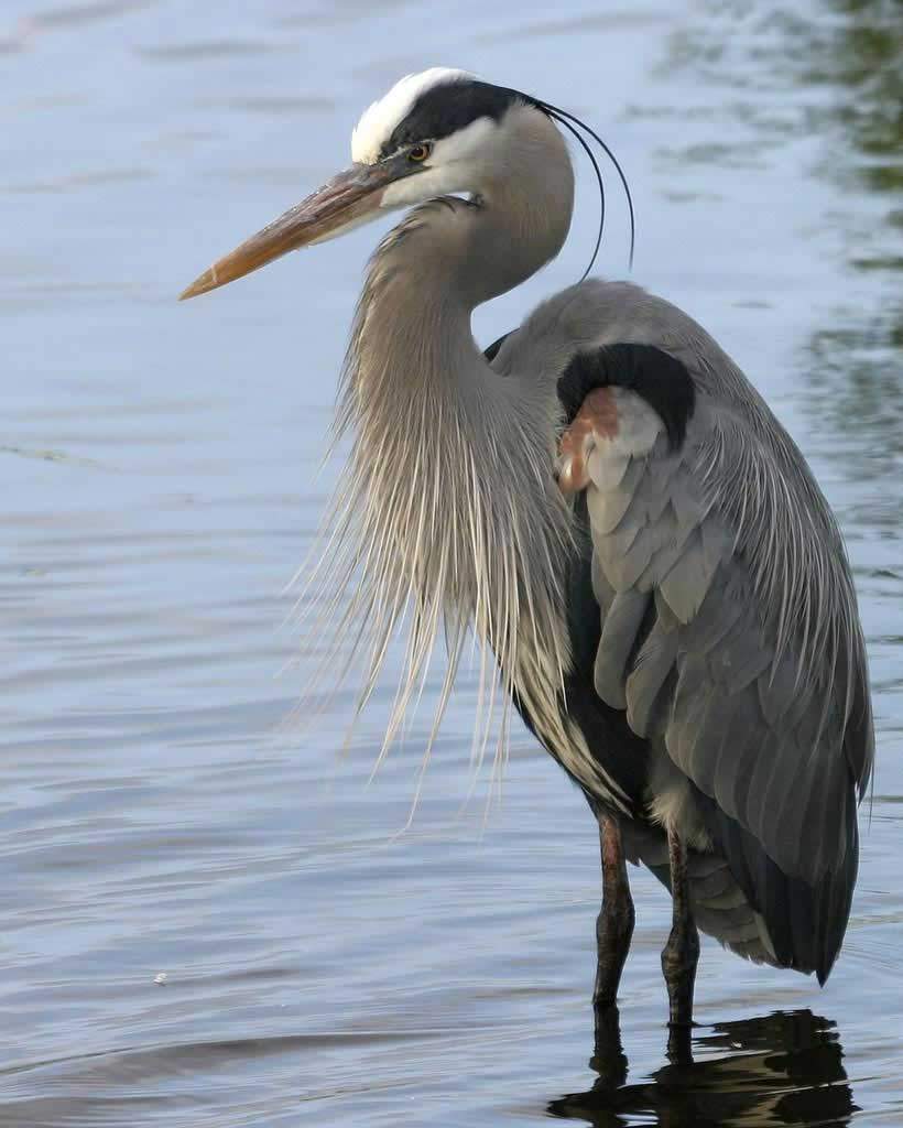 Great Blue Heron - Ardea herodiasStatus: UncommonWhen to see: Year-round