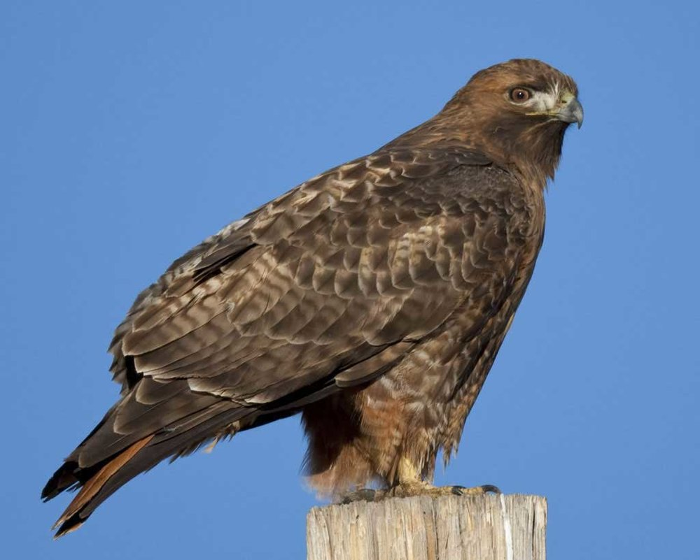 Red-tailed Hawk - Buteo jamaicensisStatus: UncommonWhen to see: Year-round