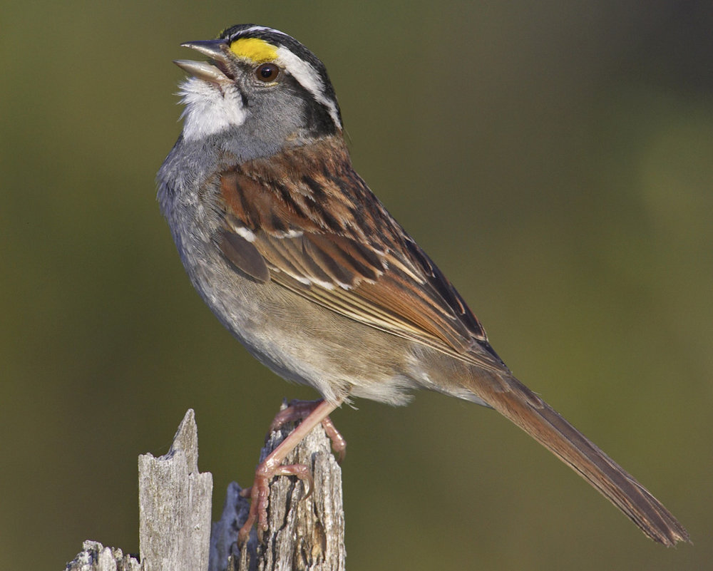 White-throated Sparrow - Zonotrichia albicollisStatus: CommonWhen to see: Fall, Winter, Spring