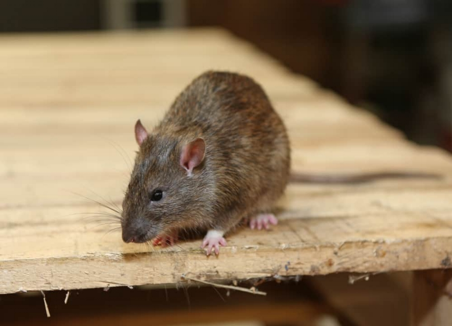 RODENT CONTROL - Stop Them Early Before They Make Your Home Their Own