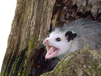 hh-us-lc-opossum-facts-habitat.jpeg