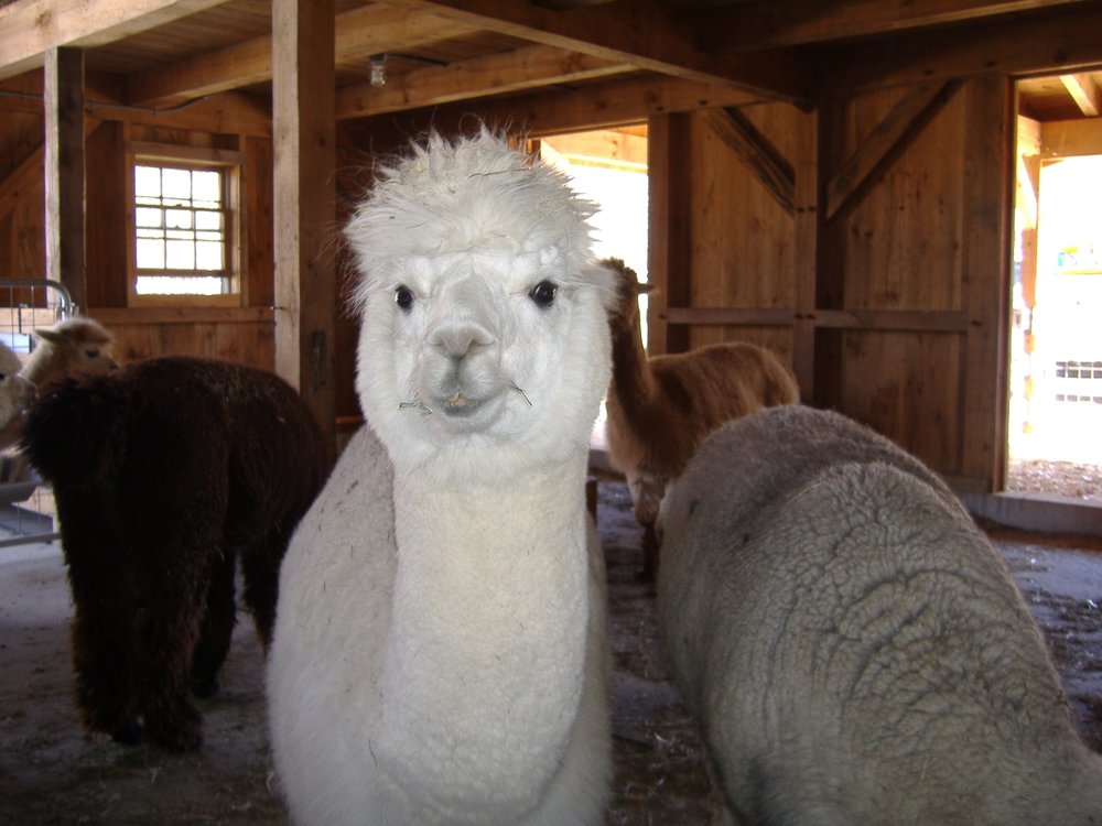 Paul Freeman - Cilley Alpaca 2.jpg