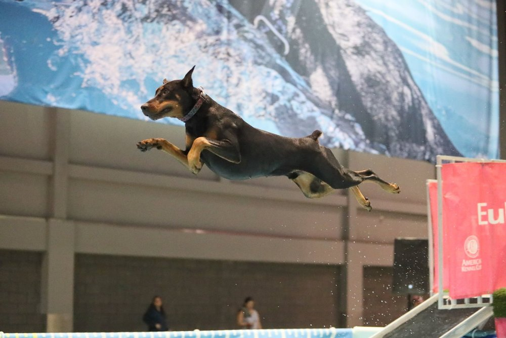 """Bogie's"" absolute favorite thing to do..Dock Diving. This was taken at nationals in Orlando."