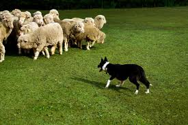 herding.jpeg