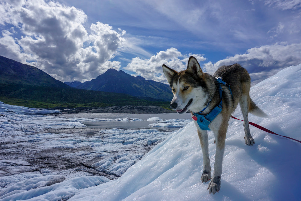 Kelsey's dog, Jasper, living the glacier life in Alaska.