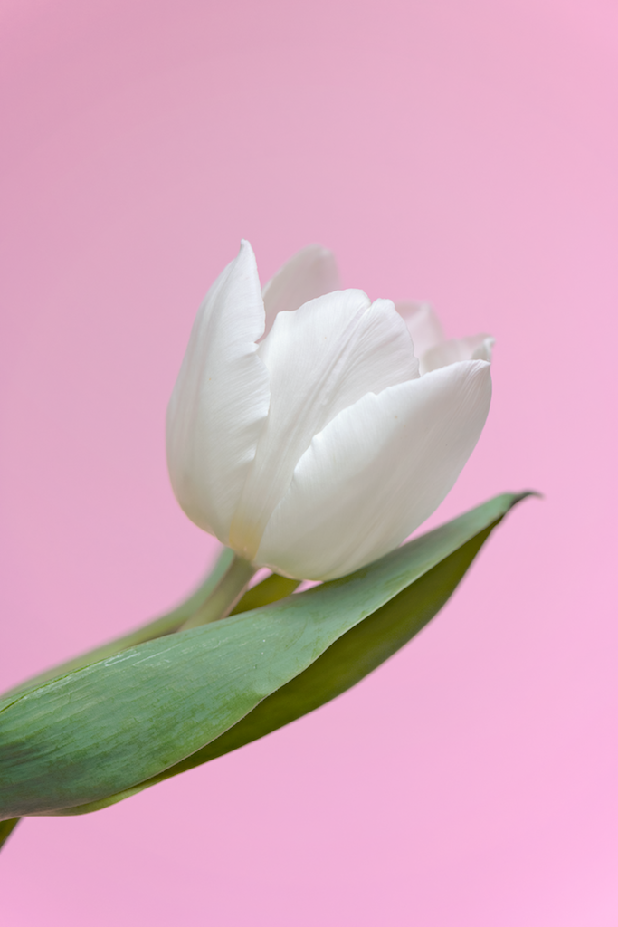 Tulip pale copy.png