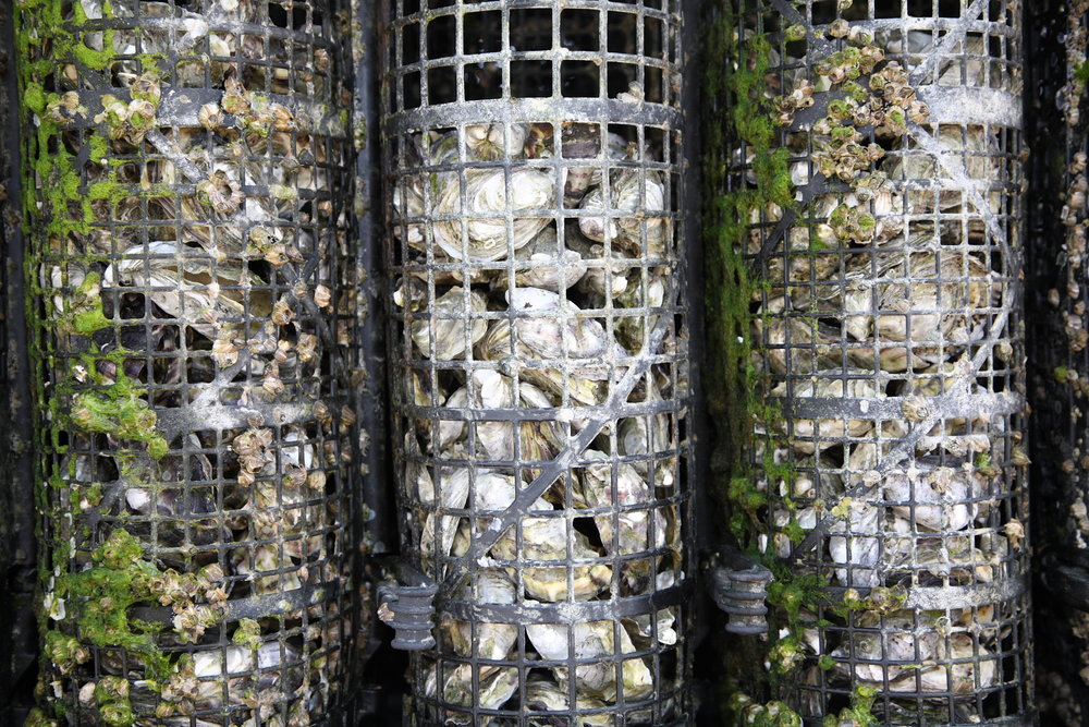 Oysters in nets EP.jpg
