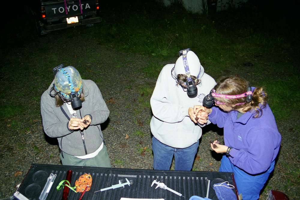 Processing Townsend's bats, Qualicum beach Sept 2001 (8).png
