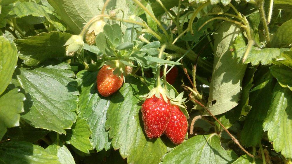 Des fraises presque prêtes pour la récolte