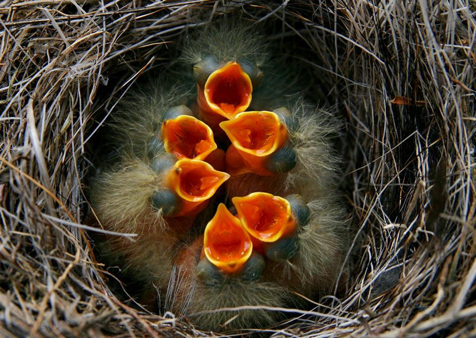 baby-birds-in-nest-ready-for-lunch.jpg