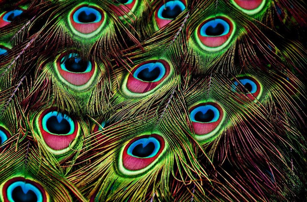 peacock-feathers-3617474_1920.jpg