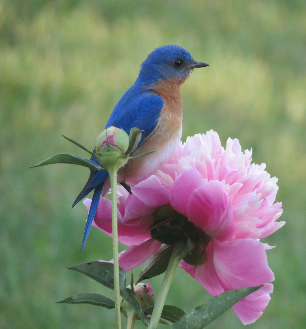 20120606 bluebird on pink peony.jpg