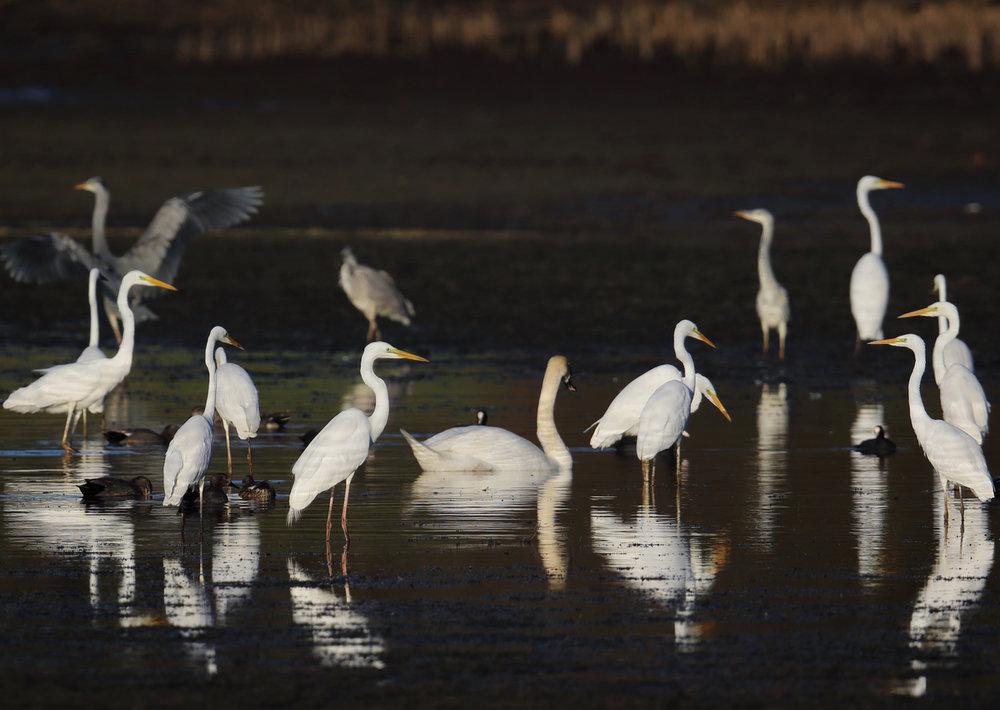 Egret squarish.jpg