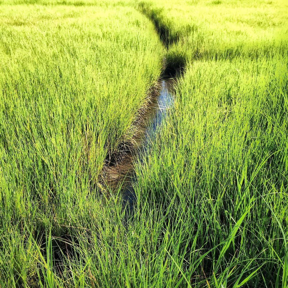 Swamp Grass, Cape Cod