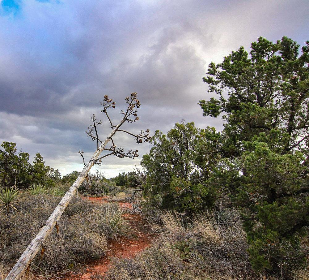 Tree Leaning, Sedona, AZ
