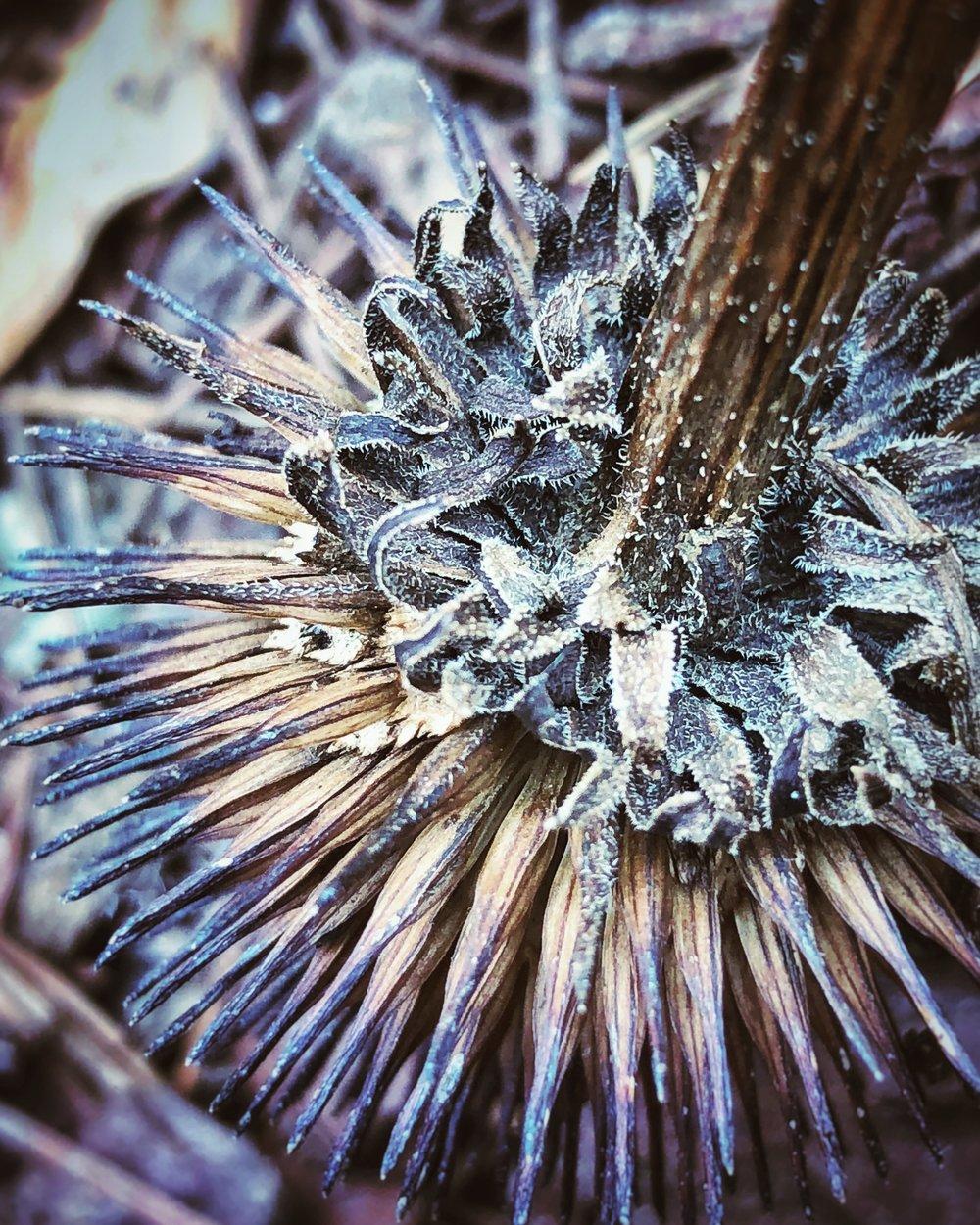 Winter Echinacea