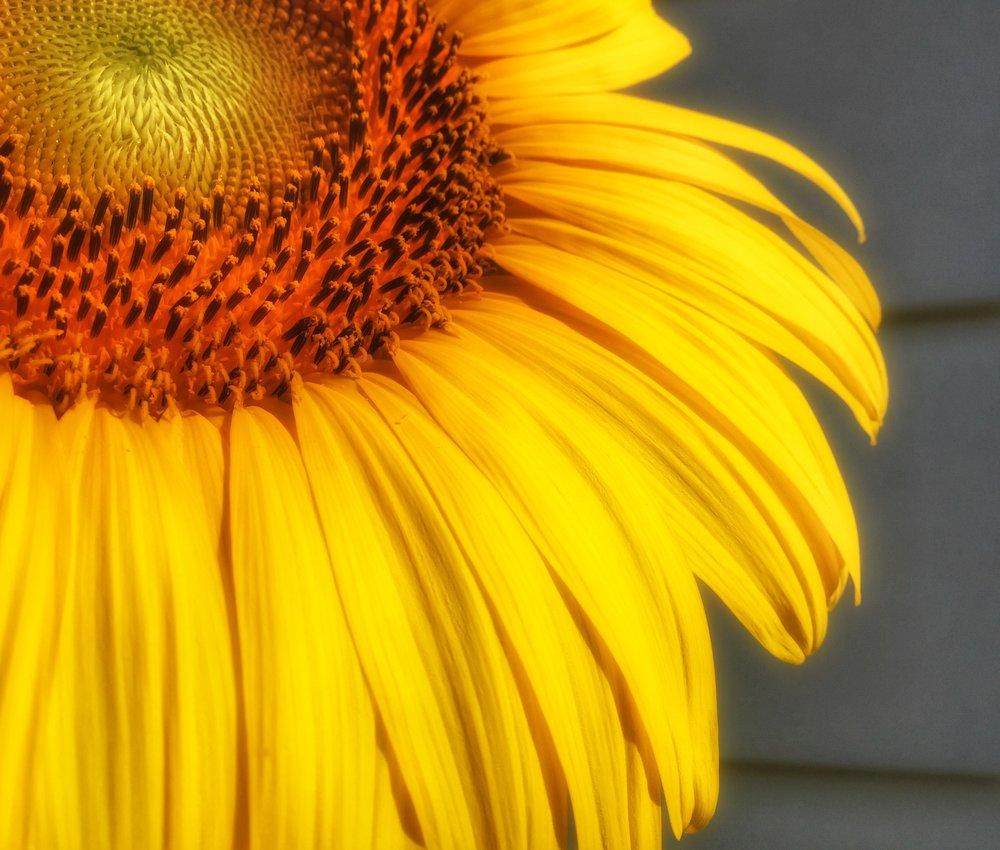 Dreamy Sunflower