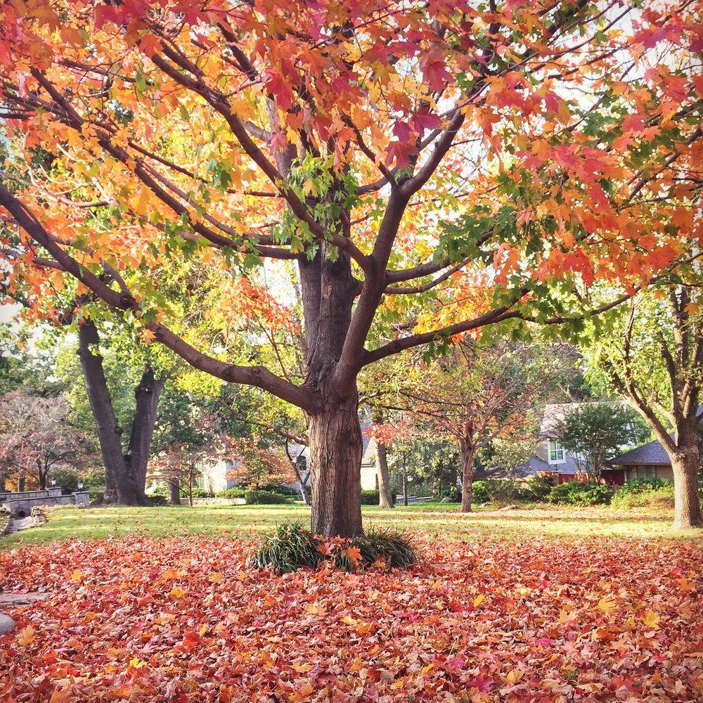 Fall Tree - Tulsa, OK