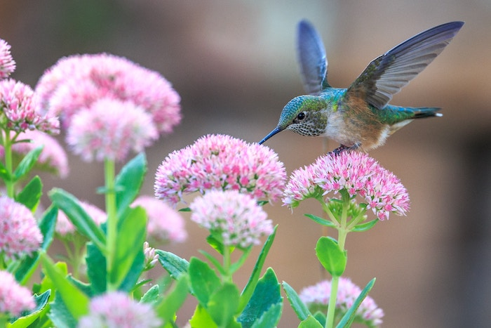 Hummingbird perched on small pink flowers.