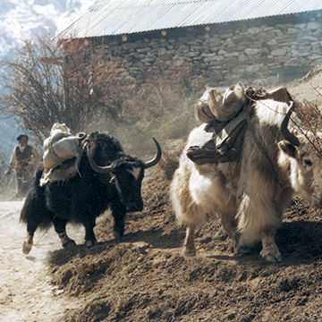 Yaks in the Himalayas near Mt. Everest