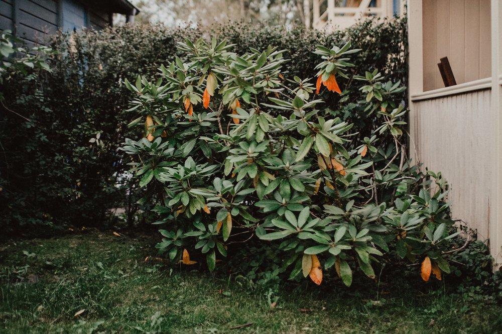 Den sneda rhododendron (som faktiskt blev bättre på bild än i verkligheten).