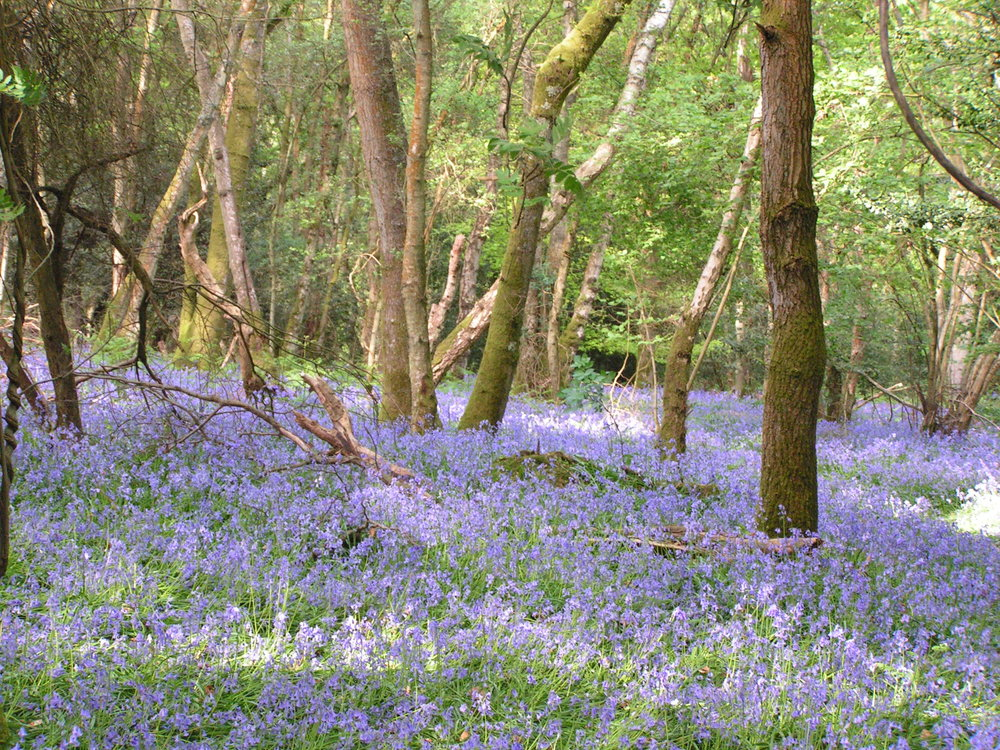 Our local Rotherfield woods in bluebell time