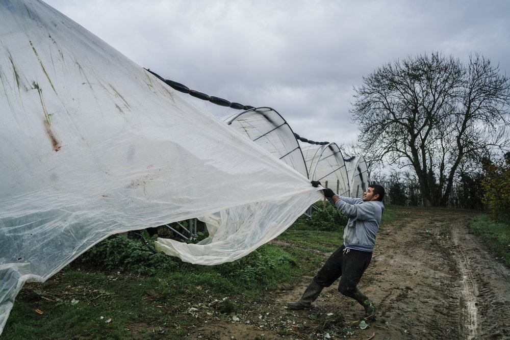 A Bulgarian worker removes plastic sheeting from a tunnel used to grow raspberries at the end of the growing season at Oakdene Farm, a fruit and vegetable farm owned by W.B. Chambers & Son in Langley, Kent, England, Thursday, Nov. 16, 2017. (David Azia for NBC News)