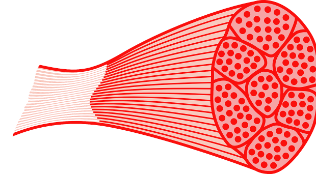 """What are glycolytic fibers?    Muscles are essentially bundles of many muscle fibers. Muscle fibers are the individual cells in muscle tissues, each containing mitochondria that generate energy for muscle contraction. Certain types of muscle fibers, called """"glycolytic"""" fibers, primarily use anaerobic respiration to generate energy. Muscles with many glycolytic fibers generally are more resistant to fatigue, but cannot generate large amounts of force quickly. On the other hand, oxidative muscle fibers primarily use aerobic respiration for energy. Muscles with many oxidative fibers can generate a lot of energy quickly, but also tire quickly once the local oxygen supply is depleted. All muscles have some proportion of both glycolytic and oxidative fibers, but the ratio varies based on the needs of the particular muscle."""
