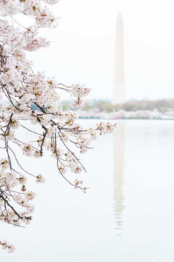 DC Cherry Blossoms 20