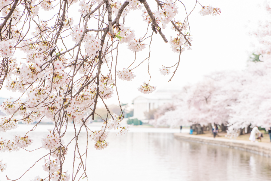 DC Cherry Blossoms 43